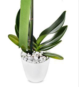 Tekli Beyaz Phalaenopsis Orkide