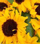 Carignan Serisi Ay Çiçeği Tasarım Aranjmanı