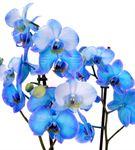 Deniz Mavisi Fanusta 2 Dal Mavi Orkide Aranjmanı