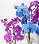 Garbatella Renkli Saksı Orkideler