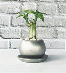 Gümüş Renkli Beton Saksıda İkili Şans Bambusu