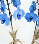 Isola Margherita Mavi Orkide