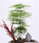 Küçük Kaya Taş Saksıda Kuşkonmaz (Asparagus)