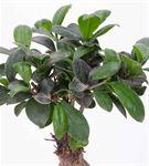 Leaf Serisi Ficus Bonsai Aranjmanı