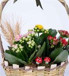 Martha Serisi Mixed Kalanchoe Tasarım Çiçek Sepeti