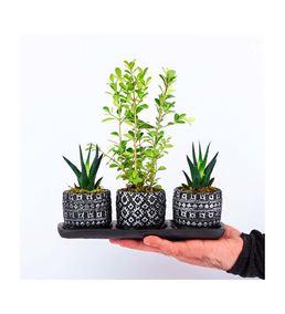 Aby Serisi Dekoratif Saksıda Buxus Bonsai Howartia