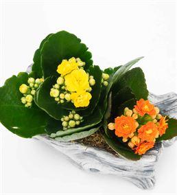 Baharın Gelişi 2 Renkli Kalanchoe Tasarım Çiçek