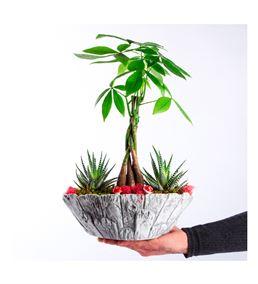Bark Serisi Saksıda Pachira (Para Ağacı) Sukulent