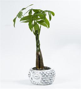 Baykuş Serisi Beyaz Saksıda Para Ağacı Bonsai