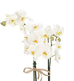 Billet Serisi 2 Dal Beyaz Orkide Tasarım - Kahve