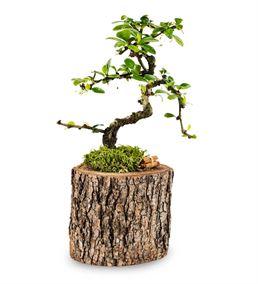 Borghese Bonsai Ağacı