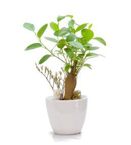 Calcifer Serisi Ficus Bonsai Ağacı ve Kuzu