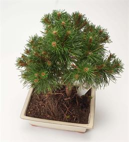 Çam Bonsai Ağacı 40cm
