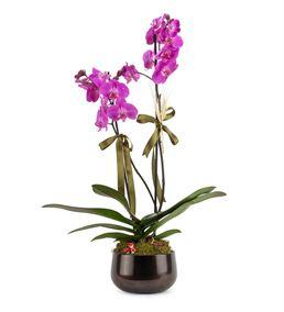 Campagna 2 Dallı Mor Orkide