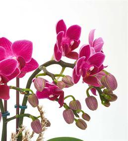 Canım Öğretmenim Orkide Bahçesi