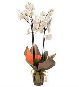Premium Çift Dal Beyaz Saksı Orkide