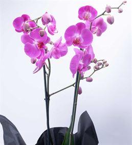 İthal Siyah Kağıtta 2 Dal Mor Phalaenopsis Orkide