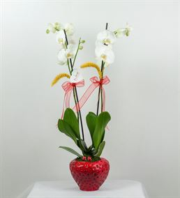 Çilek Vazoda Beyaz Orkide