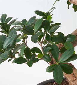 Dekoratif Ficus Bonsai Ağacı 120cm