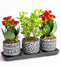 Dekoratif Saksıda Buxus Bonzai Kalanchoe