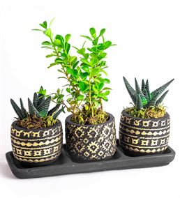 Dekoratif Saksıda Buxus Bonzai Ve Howartia