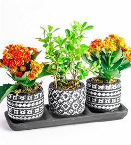 Dekoratif Saksıda Buxus Bonzai Ve Kalanchoe