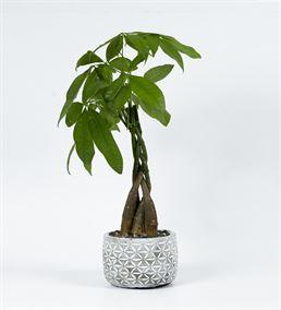 Dekoratif Saksıda Para Ağacı Bonsai Aranjmanı