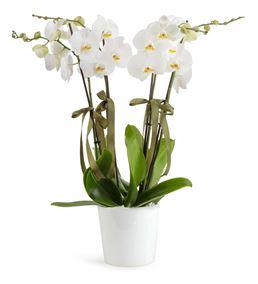 Gösterişli 4 Dal Beyaz Orkideler