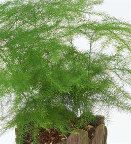Groot Saksı Asparagus Bitkisi Tasarımı