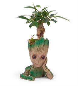 Groot Saksı Ficus Bonsai