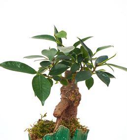 Groot Saksı Ficus Bonsai Ağacı