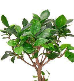 Güzel Evim ve Ficus Bonsai Ağacı