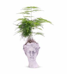 Helen Serisi Taş Saksıda Asparagus Kuşkonmaz