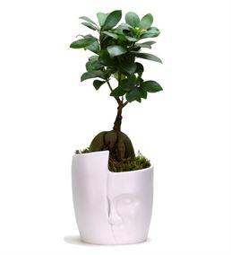 İnka Serisi Ficus Bonsai