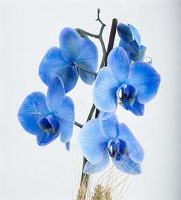 Isola Margherita 2 Dal Mavi Orkide Aranjmanı
