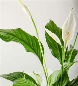 Kar Beyaz Sevgi Spatifilyum Çiçeği