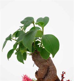 L'arbre Mini Bonsai