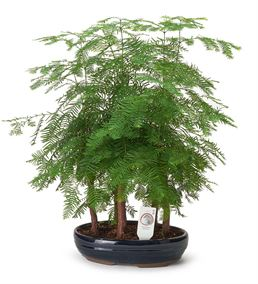 Larex Outdoor Bonsai Ağacı 55cm