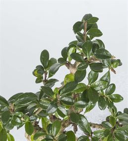 Ligustrum Bonsai 25cm