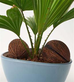 Livistona Salon Bitkisi Tasarım Çiçek