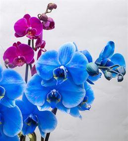 Lovely Fanus Camda Mavi Pembe Saksı Orkideler