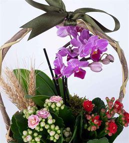 Martha Serisi Mini Orkide Kalanchoe Çiçek Sepeti