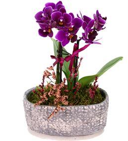 2 Dal Mini Mor Orkide