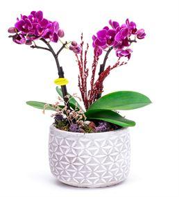 Papatya Desenli Taş Saksıda Mini Orkide Aranjmanı