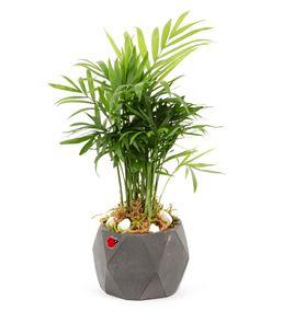 Pearl Beton Saksıda Ficus Bonsai Ağacı