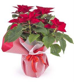 Ponsetya Yılbaşı Saksı Çiçeği