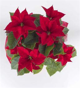 Ponsetya Saksı Çiçeği(Atatürk Çiçeği)
