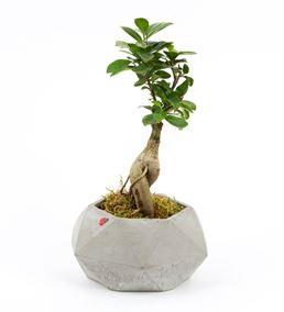 Star Ficus Bonsai Ağacı