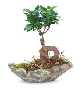 Taş Saksıda Ficus Bonsai Ağacı