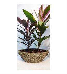 Taş Saksıda Yeşil Yapraklı Salon Bitkisi